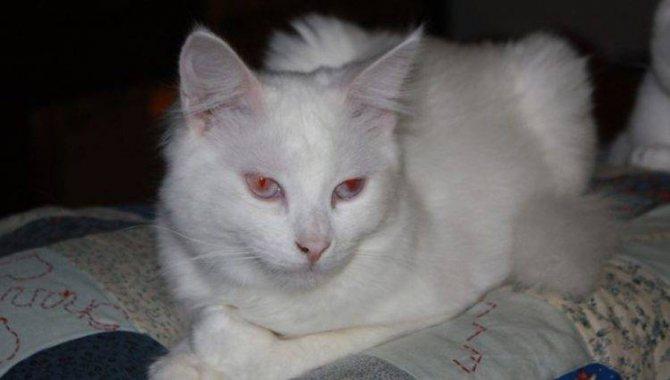 Порода кошек с красными глазами
