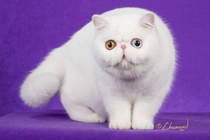 Порода кошек с разным цветом глаз