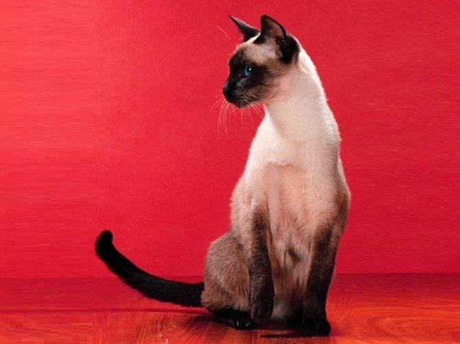 Порода кошек с синими глазами