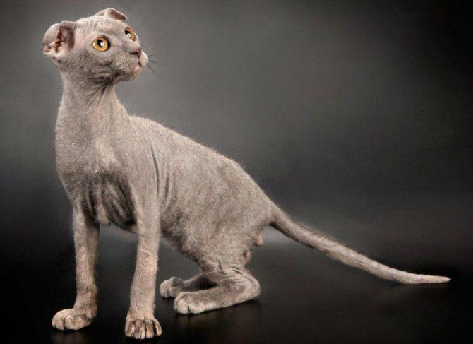Порода кошек украинский левкой
