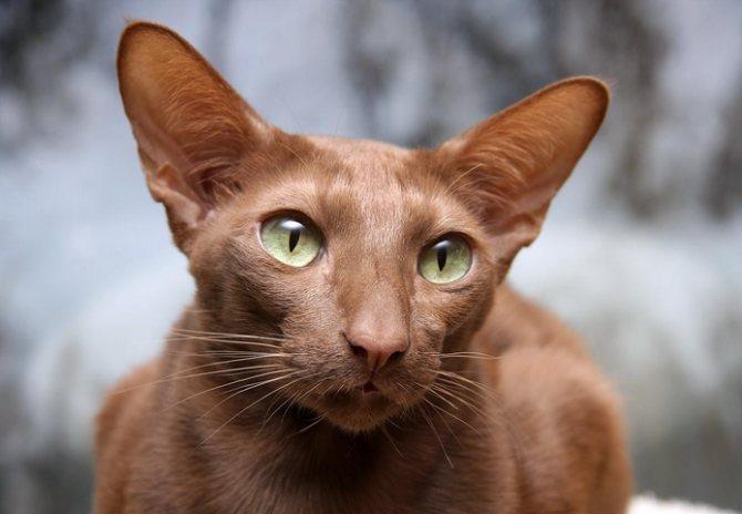 порода кошек яванская