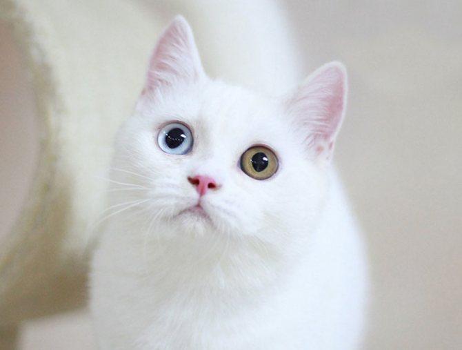 Порода кошки с разноцветными глазами