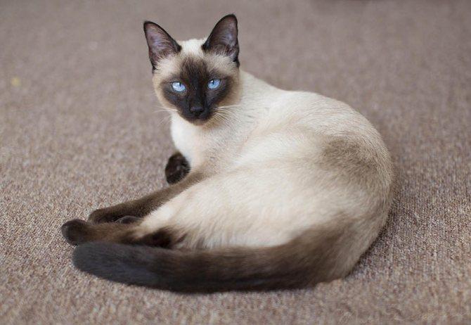 Порода кошки с синими глазами