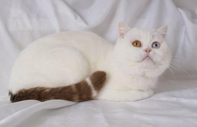 Порода кота с разными глазами