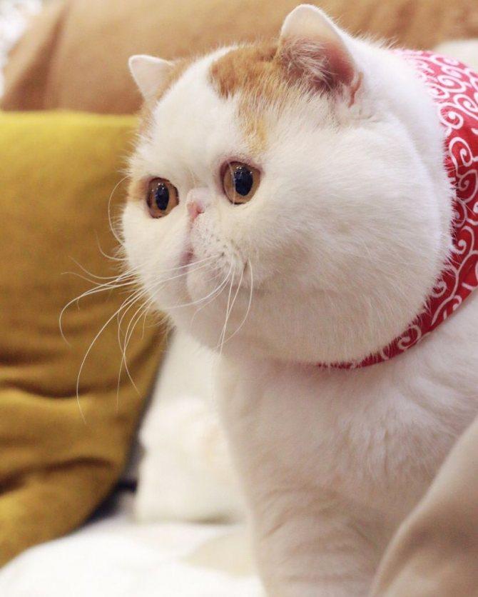 Порода кота Снупи