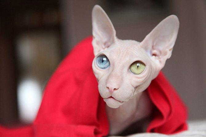 Порода котов с разноцветными глазами