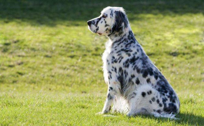 порода пятнистых собак