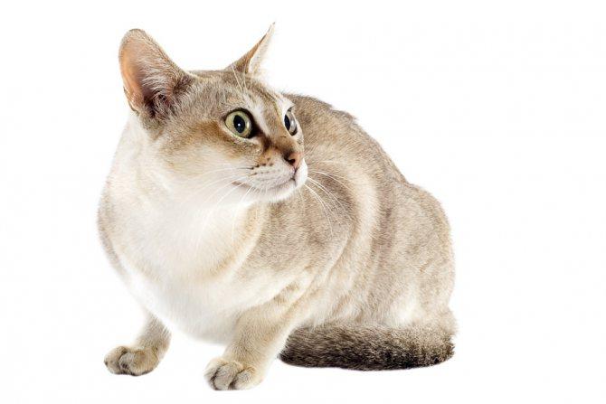 Порода серой кошки с зелеными глазами