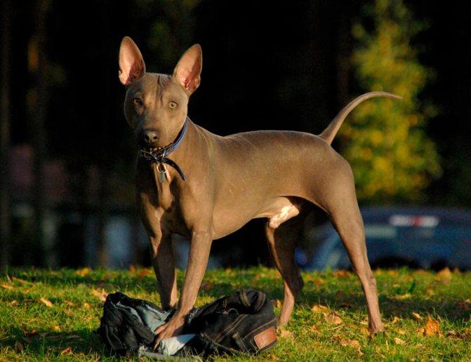 порода собак Американский голый терьер