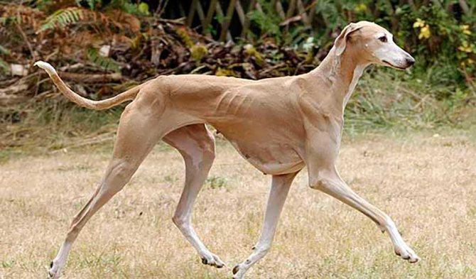 порода собак борзая
