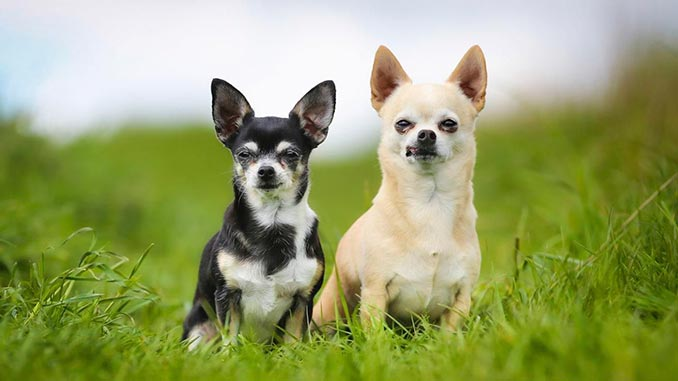 порода собак чихуа фото