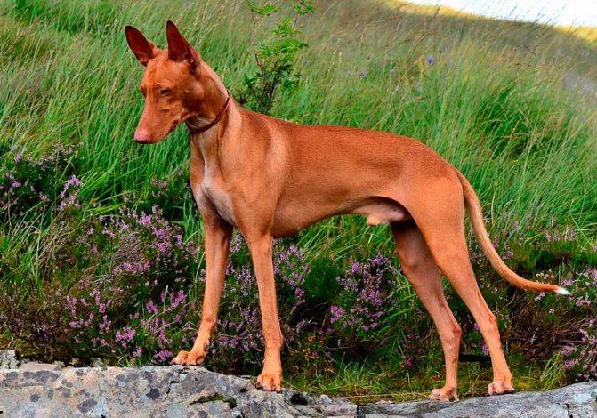 порода собак Чирнеко дель Этна