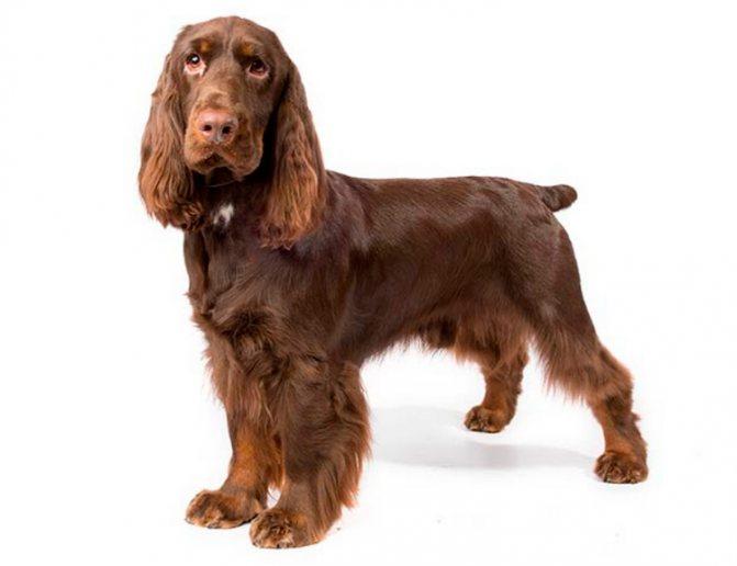 порода собак Филд-спаниель