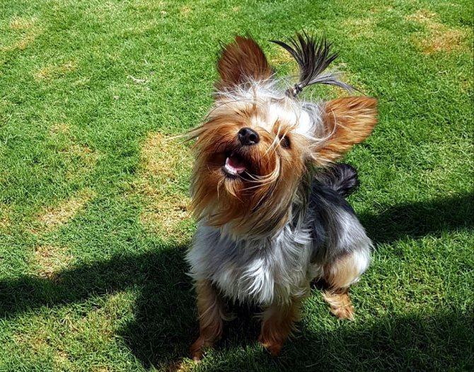 Порода собак йоркширский терьер – особенности характера и содержания