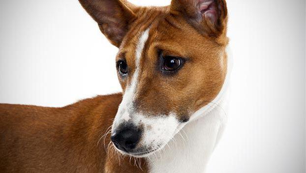 порода собак которая не лает