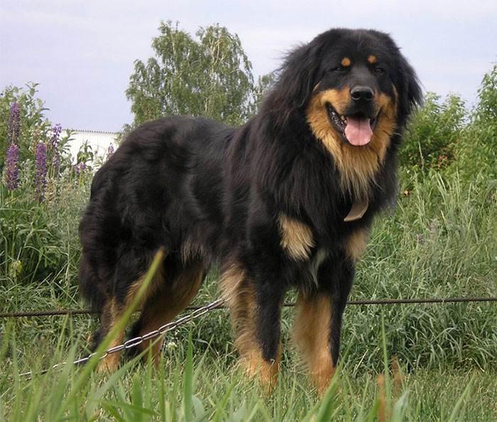 порода собак монгольский банхар