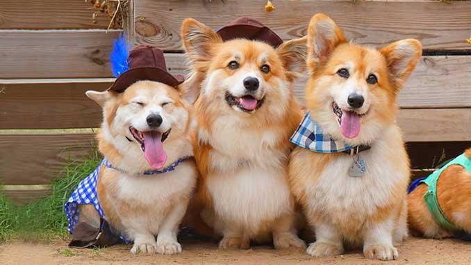 порода собак вельш корги фото