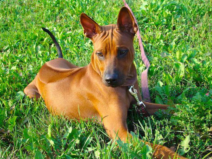 порода собаки тайский риджбек