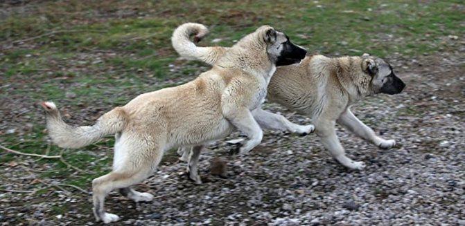 Самый большой волкодав в Кыргызстане его щенков купил