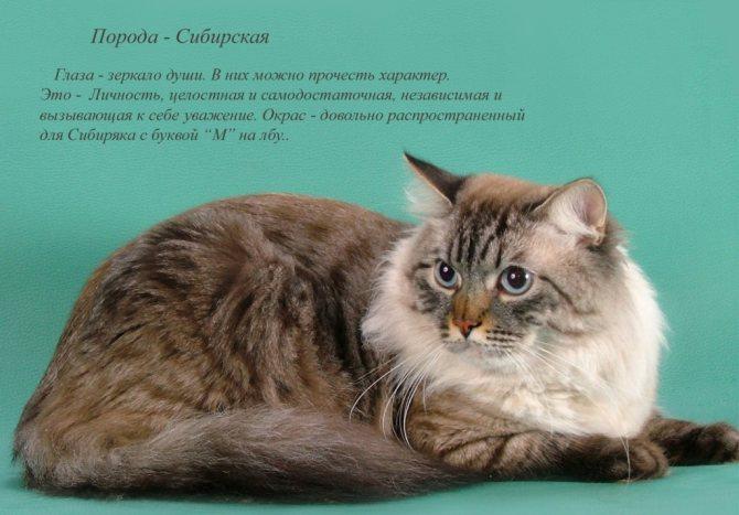 Породистая сибирская кошка