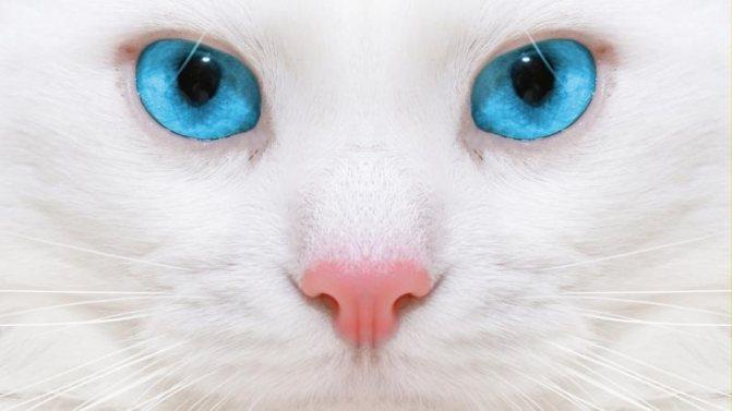 Породы белых кошек (55 фото): шотландская вислоухая, русская, с желтыми, с зелеными и голубыми глазами, красивые котята