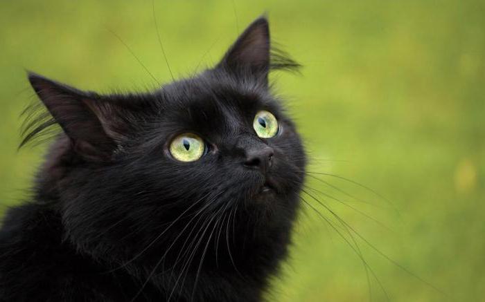 породы черных кошек фото