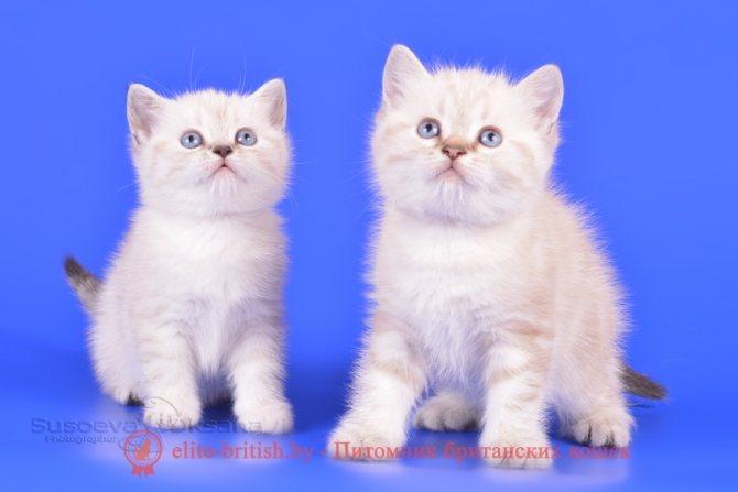 Породы кошек окраса колор-пойнт описание и разновидности окраса