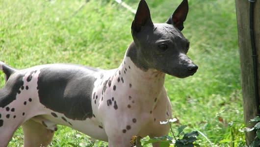 Породы лысых собак: американский голый терьер