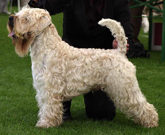 Породы собак, не линяющие и не пахнущие