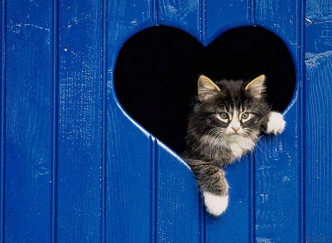 Порок сердца у котенка