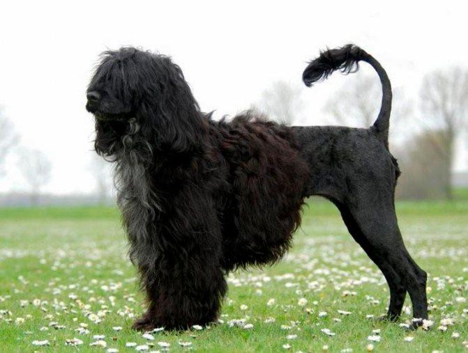 Португальская водяная собака в стрижке Лев