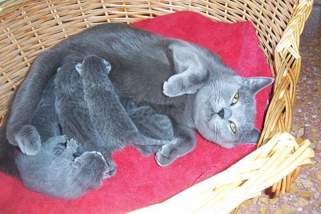 После беременности в свой срок кошка родила милых котят