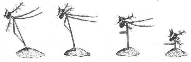 Последовательные стадии вонзания комариного хоботка в кожу