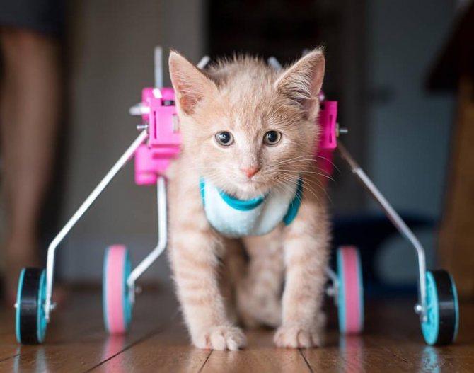 последствия отказа лап у кошки