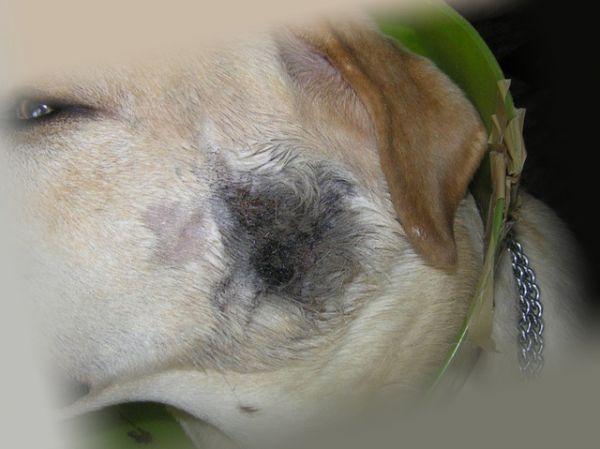 Последствия заражения блохами собаки