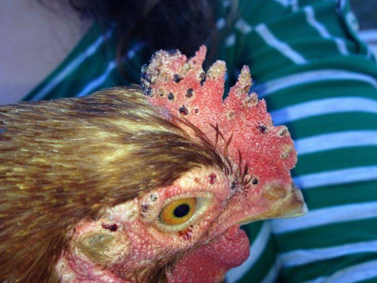 Красный куриный клещ — как бороться и чем лечить