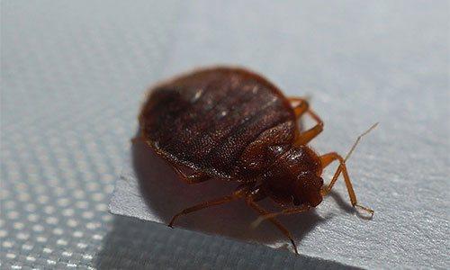 Постельные клопы (Heteroptera,Cimicidae) - переносчики инфекционных болезней