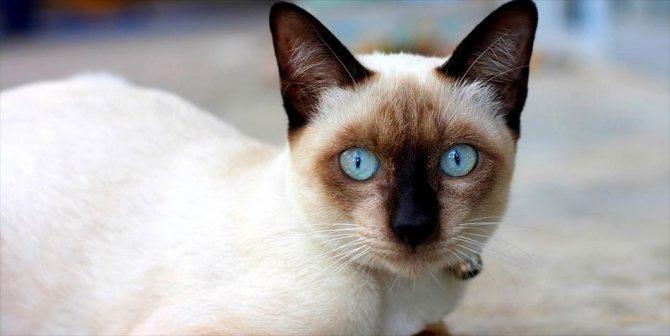 Повадки сиамской кошки