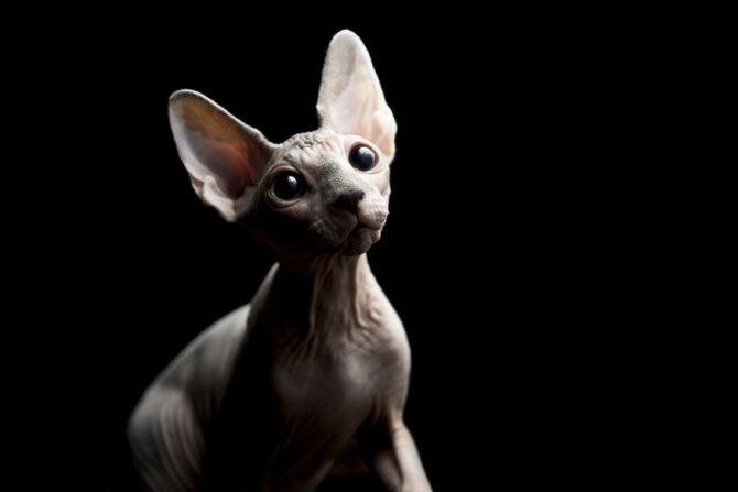 Поведение кошек может заметно меняться в период течки