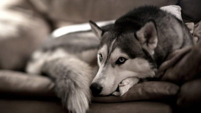 поведение перед смертью у собак