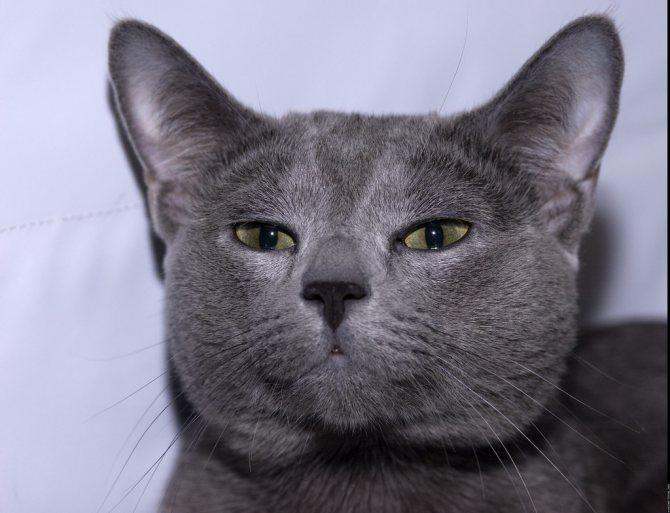 Поведение русской голубой кошки