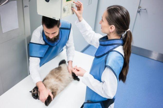 Повреждения позвоночника у кошки: диагностика, лечение, прогнозы