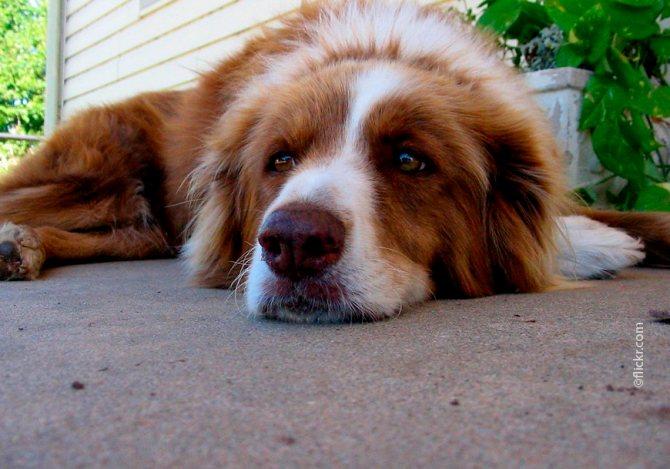 Повышенная температура и снижение аппетита - признаки цистита у собаки