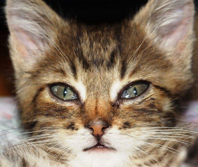Появившиеся слезы у котенка нельзя оставлять без внимания, фото https://kotsobaka.com