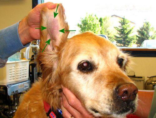 появление ушной гематомы у собаки