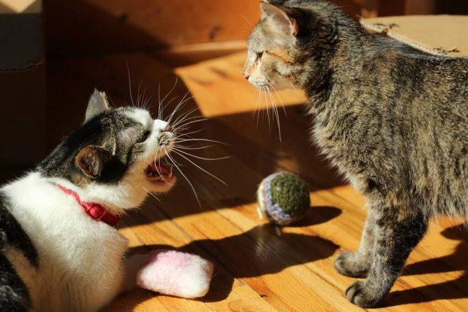 Появление второго кота может стать поводом для раздоров и агрессии
