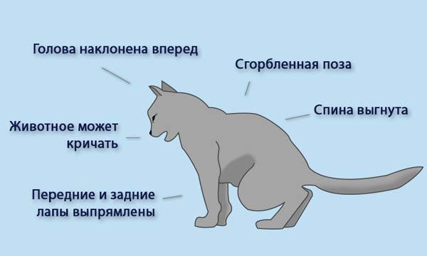 Поза при мочеиспускании кота с мочекаменной болезнью