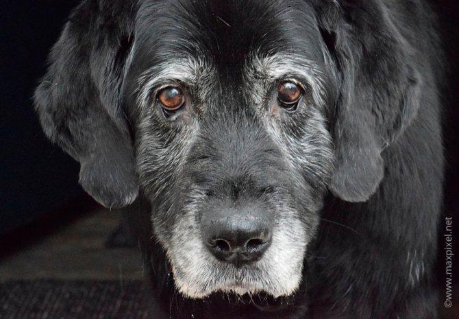 Пожилая собака