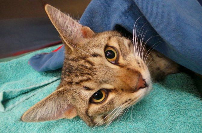 Пожилые коты сложнее приходят в себя после анестезии