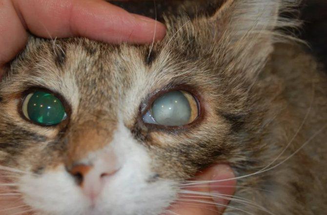 Пожилые питомцы, зараженные ВИК, предрасположены к заболеваниям глаз